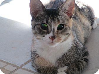 Domestic Shorthair Cat for adoption in Flushing, Michigan - Geordi