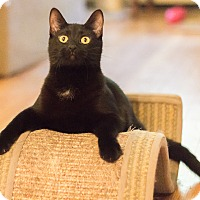 Bombay Cat for adoption in Chicago, Illinois - Cadbury