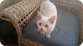 Siamese Kitten for adoption in Fairborn, Ohio - Palmer