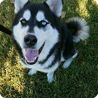 Adopt A Pet :: Loki2 - Sugar Land, TX
