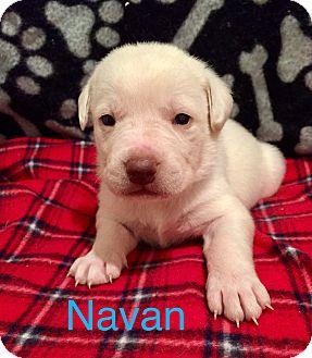 Australian Cattle Dog/American Bulldog Mix Puppy for adoption in Moyock, North Carolina - Navan