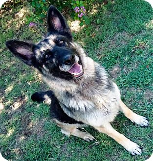 German Shepherd Dog Dog for adoption in Vernon, Texas - Beauty