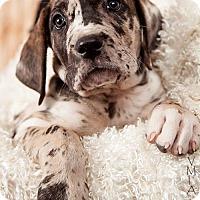 Adopt A Pet :: Maple - Albuquerque, NM