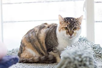 Calico Cat for adoption in Chicago, Illinois - Barbie