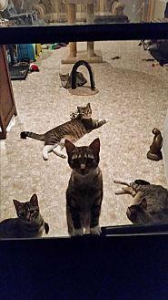 Domestic Shorthair Cat for adoption in Ocala, Florida - Herman
