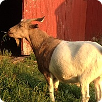 Goat for adoption in Saugerties, New York - Sam