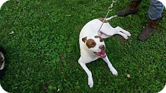 Staffordshire Bull Terrier/Terrier (Unknown Type, Medium) Mix Dog for adoption in Winchester, Kentucky - Precious
