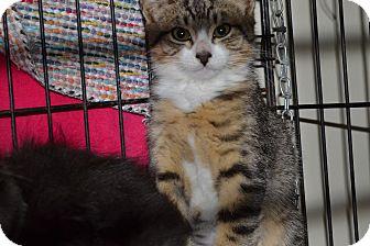 Domestic Shorthair Kitten for adoption in Kelso/Longview, Washington - Navaho