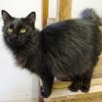 Domestic Longhair Cat for adoption in Stuart, Virginia - Solomone