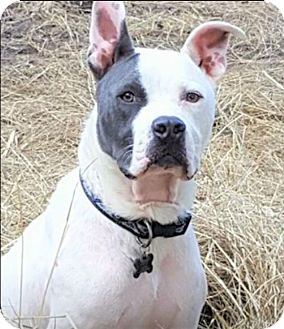 Boxer/Bulldog Mix Dog for adoption in Kittery, Maine - DEUCE
