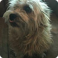 Adopt A Pet :: Brenda-pending adoption - Manchester, CT