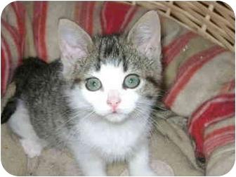 Domestic Shorthair Kitten for adoption in Etobicoke, Ontario - kitten
