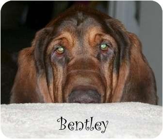 Bloodhound Dog for adoption in Dallas, Texas - Bentley