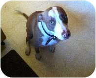 Pointer/American Staffordshire Terrier Mix Dog for adoption in Bellflower, California - Leah