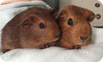 Guinea Pig for adoption in Fullerton, California - Nozomi and Akiko