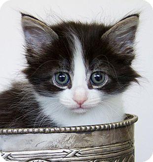 Domestic Mediumhair Kitten for adoption in Irvine, California - Jake