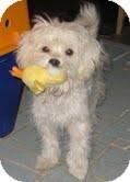 Maltese/Poodle (Miniature) Mix Puppy for adoption in Pasadena, California - SKIPPY