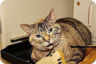 Siamese Cat for adoption in Lincoln, Nebraska - Samantha