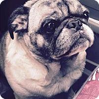 Pug Mix Dog for adoption in Tontitown, Arkansas - Harley Joe