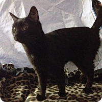 Bombay Cat for adoption in Salem, Ohio - Gretta