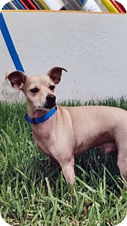 Dachshund/Chihuahua Mix Dog for adoption in Palmetto Bay, Florida - Bailey
