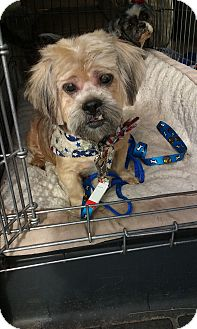 Shih Tzu/Terrier (Unknown Type, Small) Mix Dog for adoption in Malabar, Florida - Jack