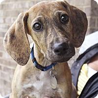 Adopt A Pet :: Pikelet - Knoxville, TN