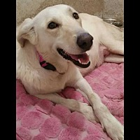 Collie Puppy for adoption in Allen, Texas - AA Foster Dog  Blank Foster Application