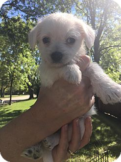 Chihuahua/Terrier (Unknown Type, Small) Mix Puppy for adoption in Manhattan, Kansas - Luna