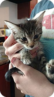 Domestic Shorthair Kitten for adoption in El Paso, Texas - Ellie