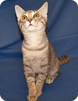 Domestic Shorthair Kitten for adoption in Colorado Springs, Colorado - K-Sasha2-Salina