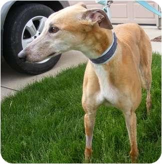 Greyhound Dog for adoption in Fremont, Ohio - Reba