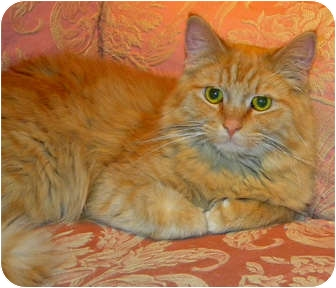 Domestic Longhair Kitten for adoption in Chicago, Illinois - Leo