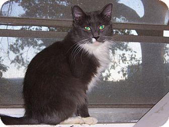 Domestic Mediumhair Cat for adoption in Atlanta, Georgia - Smokey