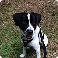 Adopt A Pet :: Fitz - Apex, NC