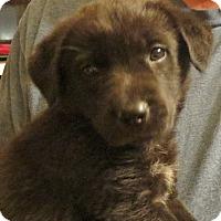 Adopt A Pet :: Pippin - Salem, NH