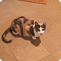 Domestic Shorthair Cat for adoption in Columbia, Maryland - Sophia