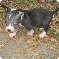Adopt A Pet :: Nevaeh - Spring, TX