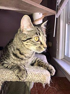 Domestic Shorthair Cat for adoption in Asheboro, North Carolina - Mighty