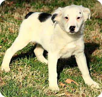 Australian Shepherd/English Setter Mix Puppy for adoption in Windham, New Hampshire - Lilly
