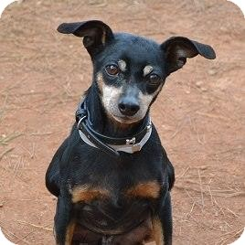 Miniature Pinscher Dog for adoption in Topeka, Kansas - Tad