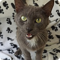 Russian Blue Cat for adoption in Floral City, Florida - Duke