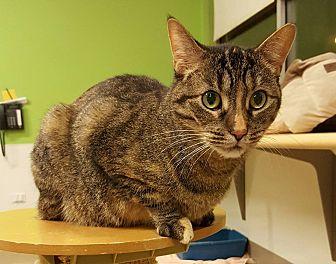 Domestic Shorthair Cat for adoption in Chicago, Illinois - Glurna