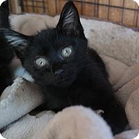 Adopt A Pet :: BABY KITTEN 5 - San Pablo, CA
