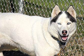 Siberian Husky Dog for adoption in Sycamore, Illinois - Lexa