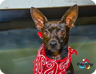 Chihuahua Mix Dog for adoption in Matthews, North Carolina - Bob