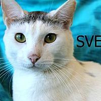 Domestic Shorthair Cat for adoption in Wichita Falls, Texas - Sven