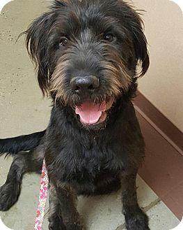 German Wirehaired Pointer Mix Dog for adoption in Sagaponack, New York - Willard