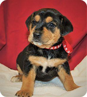 Rottweiler/Labrador Retriever Mix Puppy for adoption in Saratoga Springs, New York - Danica ~ ADOPTED!