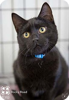 Domestic Shorthair Kitten for adoption in Merrifield, Virginia - Rocky Road